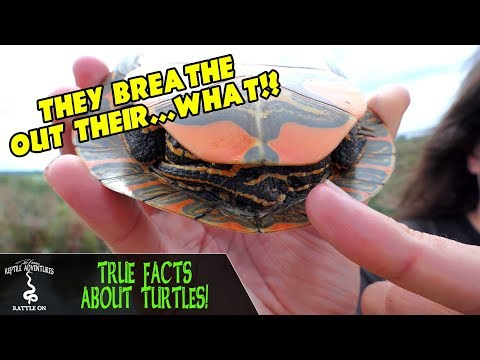 True facts about turtles: they can breathe out their butts!